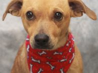 Foxy is a very friendly and outgoing 4 year-old All American mutt who looks like she might be a mix of Beagle and Feist. She was one of 11 dogs who came to us from a farm after the farm […]