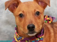Gigi is one of a litter of 7 Cattledog mix pups who were found abandoned in a box on the side of a road in early December when they were about 8 weeks-old. Fortunately, they were found before any harm […]