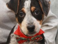 Marcel is one of a litter of 7 Cattledog mix pups who were found abandoned in a box on the side of a road in early December when they were about 8 weeks-old. Fortunately, they were found before any harm […]