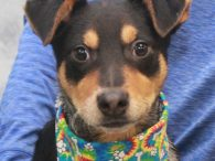 Matisse is one of a litter of 7 Cattledog mix pups who were found abandoned in a box on the side of a road in early December when they were about 8 weeks-old. Fortunately, they were found before any harm […]