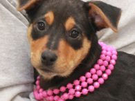 Mimi is one of a litter of 7 Cattledog mix pups who were found abandoned in a box on the side of a road in early December when they were about 8 weeks-old. Fortunately, they were found before any harm […]