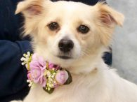Cotton is a wonderful little dog who has it all—great looks and a fabulous disposition. She was headed to a county dog shelter back in late October when her owner could no longer take care of her. At that time, […]