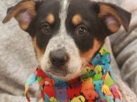 Dundee is a handsome 11 week old (born in mid-November 2019) Blue Heeler pup. He was one of a litter of 9 pups who came to Canine Lifeline in early January after they were shelter-bound. A shelter volunteer offered to […]