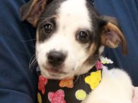 Ella is one of four pups who came to Canine Lifeline in early November along with their mother Cotton. The pups were born on Oct 30. Cotton and her pups have been staying in a wonderful foster home where they've […]