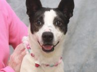 Meet Laramie, a sweet and loving 1 year-old All-American Mutt who looks like she might have some Cattle Dog and Rat Terrier in her family tree. At about 30 pounds, she's a great size for just about any situation. Laramie […]
