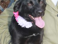 Lindy is a very sweet and affectionate 8 month-old Lab mix female who was surrendered to a county dog shelter before Christmas because her family could no longer care for her. Since her previous owners kept her outdoors, it's a […]