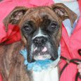 Lola is a beautiful 9 month-old Boxer who was surrendered to an overcrowded county dog shelter by her owners who said she played too rough with their young children. She was very frightened at the shelter so made the trip […]