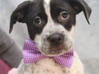 Meet Luigi, an adorable 12 week old Boxer/Cattle dog mix pup with lots of spots who was born on November 9, 2019. His mom, Sofia, came into an overcrowded county dog shelter as a pregnant stray and, a week later, […]
