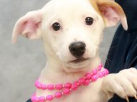 Lulu is one of four pups who came to Canine Lifeline in early November along with their mother Cotton. The pups were born on Oct 30. Cotton and her pups have been staying in a wonderful foster home where they've […]
