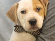 Here's Mario, a super-sweet 12 week old Boxer/Cattle dog mix pup who was born on November 9, 2019. His mom, Sofia, came into an overcrowded county dog shelter as a pregnant stray and, a week later, gave birth to 8 […]