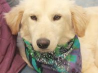 Meet Portia, a very pretty 9 month-old Retriever mix female who ended up at an overcrowded county dog shelter along with her siblings Frieda and Chevy. We don't know why all 3 ended up at the shelter but suspect that […]