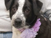 Meet Posey, an adorable 6-7 month-old Aussie/Cattle Dog mix pup who is as sweet as she is gorgeous. Posey was adopted from a shelter as a young pup but recently returned to them. We don't know what circumstances caused Posey […]