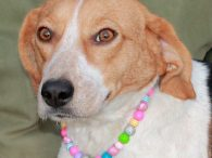 Priscilla is a lovely 2 year-old Beagle mix female who found herself homeless at an overcrowded county dog shelter before Christmas and made the trip to Canine Lifeline so she would be able to take her time finding the perfect […]