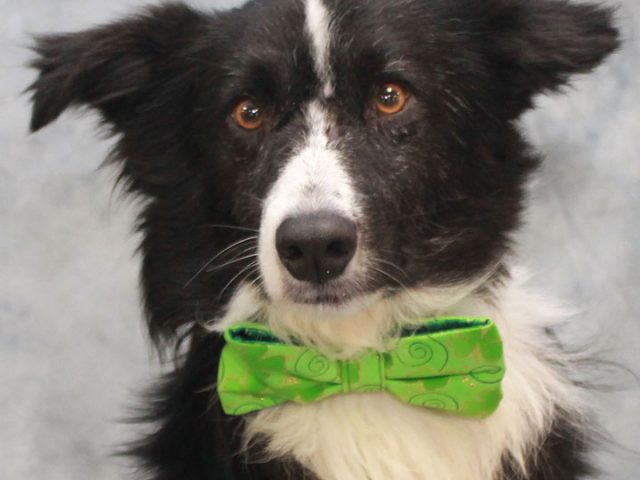 Boyd is a very loving and kind 3 year-old Border Collie mix male who found himself homeless at an overcrowded county dog shelter. To add insult to injury, he tested positive for heartworms at the shelter making it very difficult […]