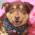 Bandit is a very friendly and outgoing 5 year-old neutered male who looks like a mix of Aussie, Basset Hound, and Husky–an interesting combination for sure! He came into an overcrowded rural county dog shelter as a stray so we […]