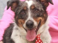 If you're looking for an active young dog who would make a great jogging or hiking buddy, look no further than Jacob. This bright-eyed and alert 1 year-old Aussie/Cattledog mix neutered male was turned into a shelter by his owners […]