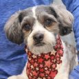 Oreo is a sweet 2.5 year-old Shih Tzu/Poodle mix male whose owner no longer had time for him so he finds himself looking for a new home. His world has been understandably turned upside down so Oreo is a little […]