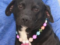 Piper is an incredibly sweet and gentle 1.5 year-old Lab mix female who is a great size at only about 38 pounds. She was an owner surrender at an overcrowded rural county dog shelter. We don't know what circumstances led […]