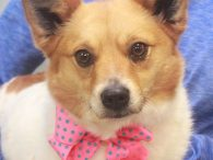 Little dog lovers are going to be crazy about our girl Bailee. This little 2 year-old lady came to us from an overcrowded county dog shelter so we have no history on her. The shelter called her a Pomeranian mix […]