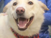 Looking to add some spice to your life? Look no further than Darby, our fun-loving, adorable, and so huggable 1 year-old Lab/Husky mix girl with the beautiful smile. Darby gets along very well with other dogs and people as well. […]