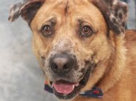 Meet Mocca, a very handsome 3 year-old Catahoula/Lab mix neutered male with striking markings and a sweet, gentle disposition. Mocca came into an overcrowded county dog shelter as a stray and made the trip to Canine Lifeline so he would […]