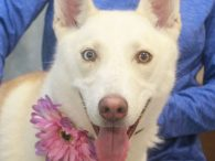 Husky lovers, meet Pearl, a beautiful 1 year-old Husky mix with gorgeous cream and milk chocolate markings and pretty multi-colored eyes. She was adopted from a county dog shelter in the fall but recently picked up as a stray. When […]