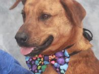 Meet Aaron, a very handsome 3-4 year-old Mountain Cur mix male who looks like he might have some Lab in his family tree too. Aaron has the most beautiful reddish/orange brindle coat which really shines in the sunlight. This sweet […]