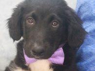 Connor is an adorable 10-11 week-old Aussie/Lab mix male who was one of 7 pups abandoned on a farm. A rescuer contacted us for help with this family so they made the trip to Canine Lifeline to be able to […]