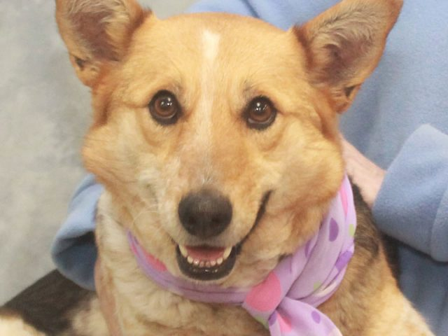 Dixie is a gorgeous 3 year-old Aussie/Cattle Dog mix who found herself homeless at a rural county dog shelter. From the shelter, she made the trip to Canine Lifeline in March to work on finding herself a great new home. […]