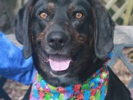This handsome gentleman is Duke, a 2-3 year-old who looks like a mix of Plott Hound and Lab. According to the rescuer who sent Duke to us, he had lived most of his life (at least the last year or […]