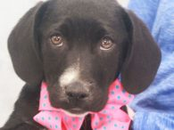 Erin is a sweet and loving 10-11 week-old Aussie/Lab mix female who was one of 7 pups abandoned on a farm. A rescuer contacted us for help with this family so they made the trip to Canine Lifeline to be […]
