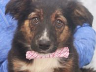 Grady is a charming 10-11 week-old Aussie/Lab mix male with a medium-length coat who was one of 7 pups abandoned on a farm. A rescuer contacted us for help with this family so they made the trip to Canine Lifeline […]