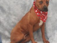 Johnny is a very handsome 16 month-old Boxer mix with a charming underbite who was adopted from a rural county dog shelter about a year ago as a 4 month-old pup along with his sister June. Their adopter wanted them […]