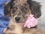 Kerry is a gorgeous 10-11 week-old Aussie/Lab mix female who was one of 7 pups abandoned on a farm. A rescuer contacted us for help with this family so they made the trip to Canine Lifeline to be able to […]