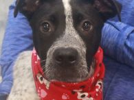 Nate is an adorable and very camera-friendly 5 month-old pup who looks like he might be a mix of Cattle Dog and Boxer. Although his breed mix is just a guess and remains a mystery, this lovable boy has quickly […]