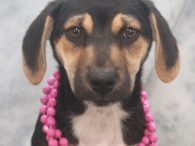 Nora is a sweet 10-11 week-old Aussie/Lab mix female who might have a little Hound in her family tree too. She was one of 7 pups abandoned on a farm. A rescuer contacted us for help with this family so […]