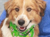 Oakley is a gorgeous 1 year-old Great Pyrenees/Australian Shepherd mix male who was an owner surrender at an overcrowded rural county dog shelter. Oakley's family told the shelter that he was great with all people he's met including kids and […]