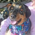 This handsome hound of many colors is Avery, a 1 year-old who looks like he might be a mix of Aussie and Catahoula. His beautiful markings give him a unique look. Avery came into a county dog shelter as a […]
