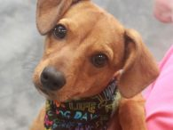 Little dog lovers, meet Jiminy! This spunky little 6 month-old pup was found as a stray so we don't have any history on his pre-shelter life or exactly what his breed mix might be. He looks to us like he […]