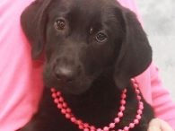 Larissa is a beautiful 11-12 week-old Black Lab pup who was surrendered to a shelter along with her sister by a breeder who could no longer care for her. From there, she made the trip to Canine Lifeline so she […]