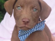 Lars is one of a litter of seven adorable 9-week old Lab mix pups—2 girls and 5 boys–who came to us from a shelter. Their mom was reported to be a Yellow Lab who had a litter of unwanted pups. […]