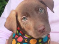 Leif is one of a litter of seven adorable 9-week old Lab mix pups—2 girls and 5 boys–who came to us from a shelter. Their mom was reported to be a Yellow Lab who had a litter of unwanted pups. […]