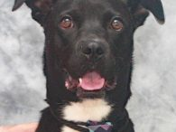 Max is a handsome 2 year-old Boxer/Lab mix male who is eager to make a fresh start in a new home. He was living his life on a short chain when his owner decided to surrender him to a shelter. […]