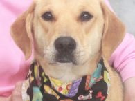Looking for a dog who's likely to walk right into your house and make herself at home? That's our Roxy, a sweet, gentle, and very well-mannered 4 year-old Shepherd/Hound mix girl. Roxy's owner could no longer care for her so […]