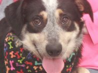 Jake is a very handsome 2-3 year-old Heeler/Aussie mix with gorgeous markings, a long tail, and a beautiful thick coat. He was found as a stray with Jenny who is thought to be his littermate. The pair was taken to […]