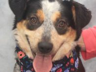 Jenny is a beautiful 2-3 year-old Heeler/Aussie mix female who was found as a stray with Jake, who looks to be her littermate. The pair was taken to the local dog pound but no one claimed them so they both […]