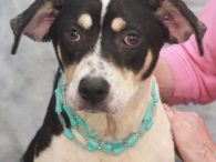 Maizie is a super-friendly and outgoing 7-8 month-old Terrier/Beagle mix girl who was found as a stray n late May and taken to the local shelter. She was in extremely poor condition at that time—emaciated and loaded with parasites of […]