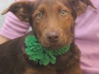 Malley is one of a litter of three 3 month-old pups who made their way to Canine Lifeline along with their mom Mocha. Mocha is a beautiful Chocolate Lab mix female who looks like she's had a rough life and […]