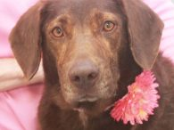 Mocha is a gorgeous 3 year-old Chocolate Lab mix female with an outstanding disposition. She found herself homeless with her three 3-4 month-old pups (Malley, Latte, and Java) and made the trip to Canine Lifeline so the whole family could […]