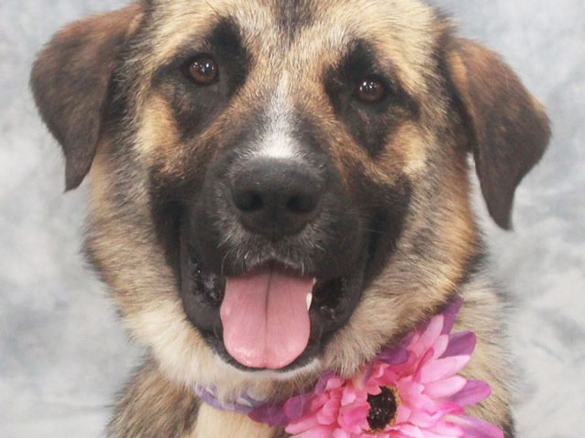 Sophie is a fun-loving 2 year-old German Shepherd/Lab mix female who found herself homeless at an overcrowded rural county dog shelter and made the trip to Canine Lifeline so she could find a wonderful new family to love. Unfortunately, Sophie's […]